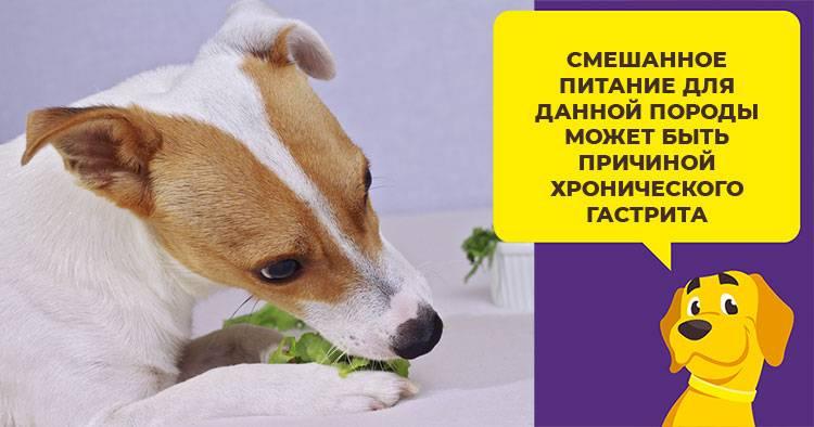 Собака джек рассел терьер: описание породы, чем кормить, характер, уход и содержание, фото