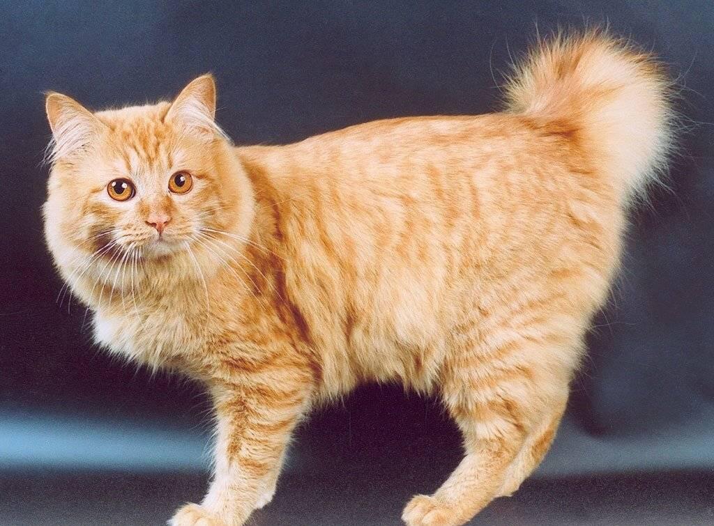 Породы кошек с коротким хвостом: описание видов