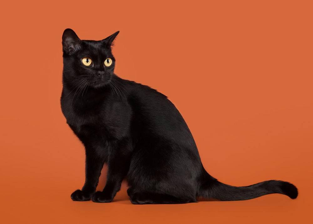 Бомбейская кошка—маленькая пантера на вашем диване