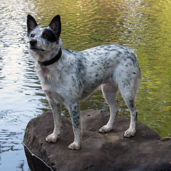 Австралийская короткохвостая пастушья собака ⋆ собакапедия