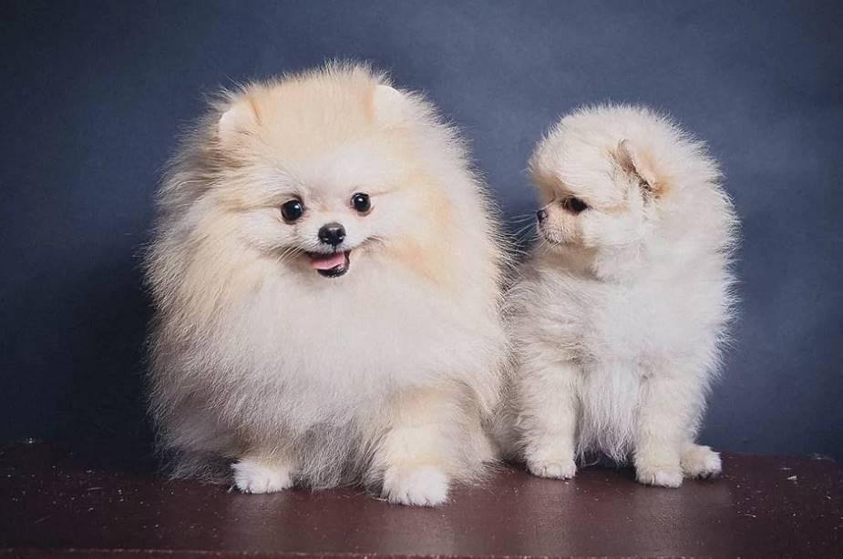 Клички для шпицев-мальчиков: красивые и прикольные имена для собак маленьких пород. как можно назвать щенка шпица? топ-10 самых хороших кличек