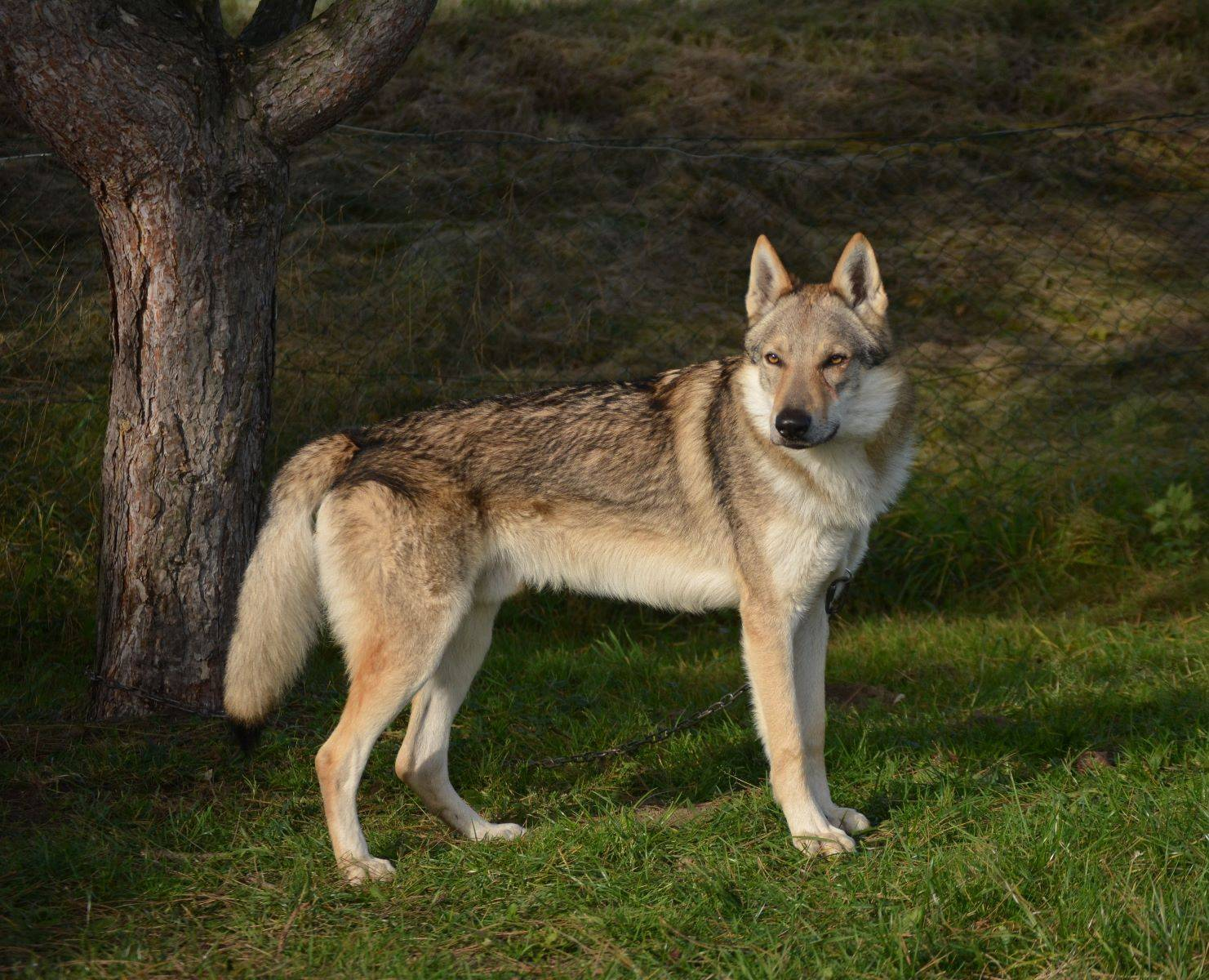 Чешский волчак. история, характер, внешность, болезни породы собак