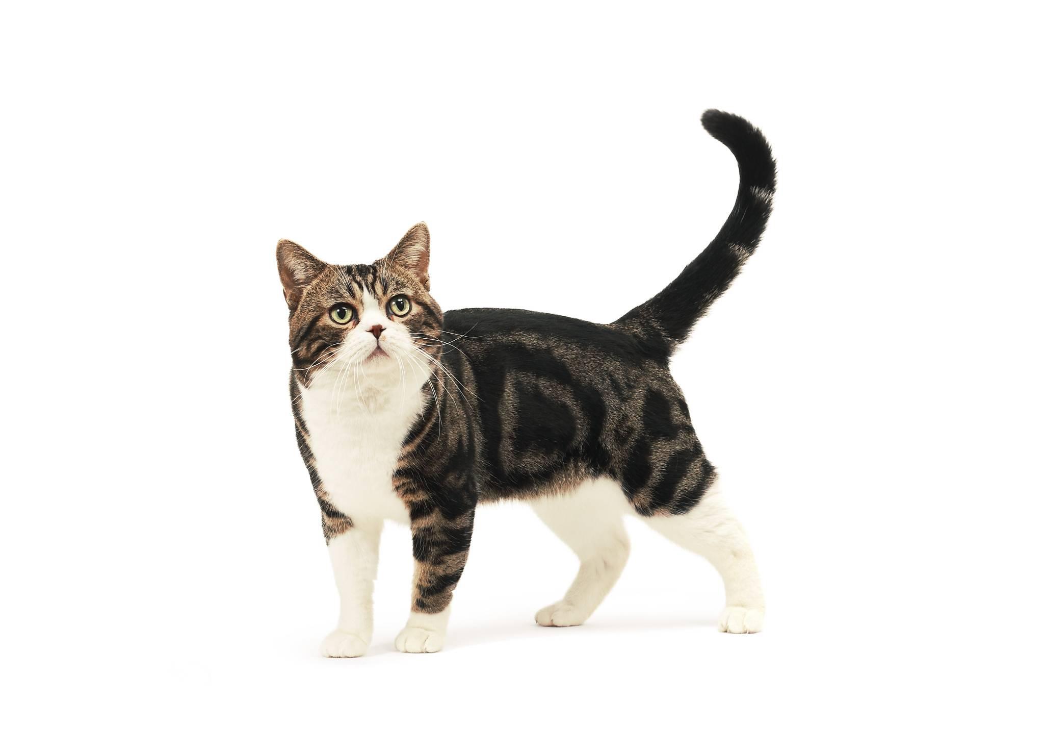 Гладкошерстные породы кошек: фото, описание каждой породы