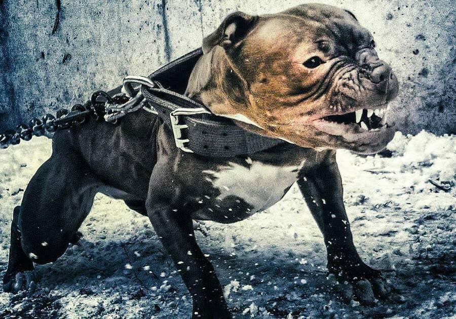 Топ 12 самых бесстрашных пород собак — 4 лапки
