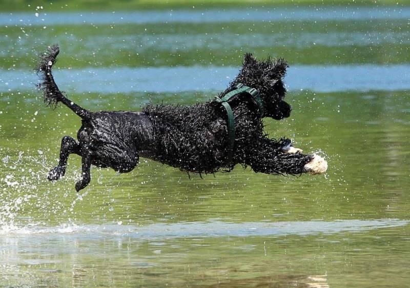 Португальская водяная собака: фото, описание породы и отзывы