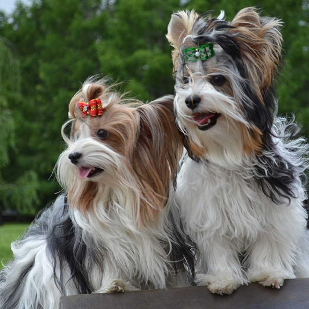 Бивер йорк собака. описание, особенности, уход и цена бивер йорка | животный мир