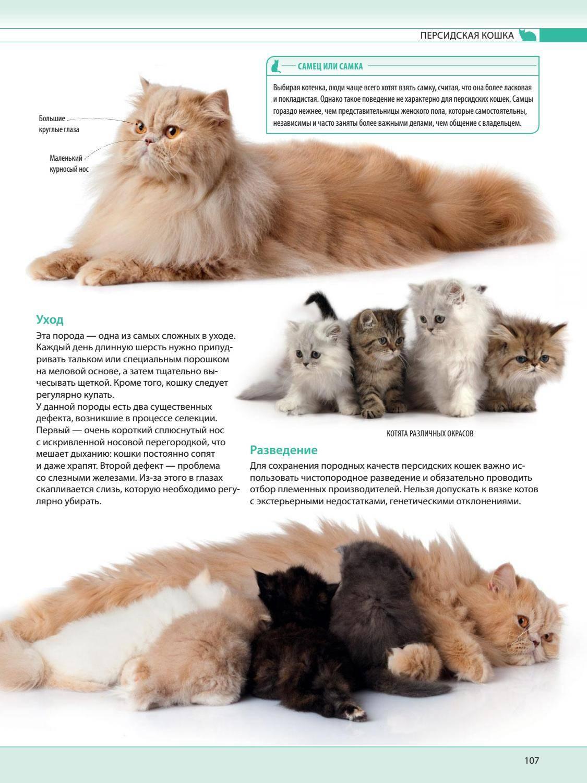 Чем кормить персидскую кошку и какой уход ей необходим