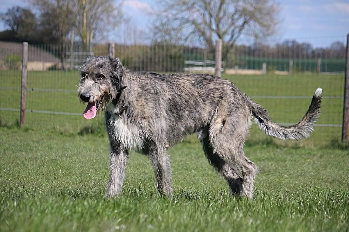 Какие существуют собаки волкодавы: описание русских, немецких и азиатских пород