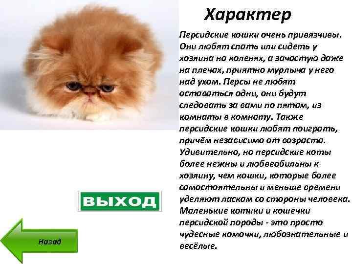 Чем кормить персидскую кошку, какой корм выбрать для персов - zoolegenda
