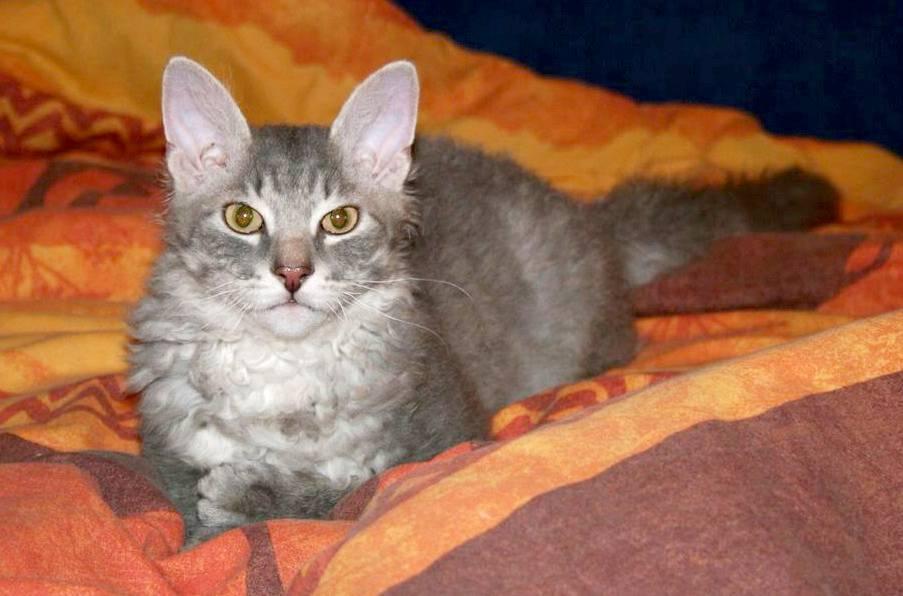 Помесь сиамской и британской кошки