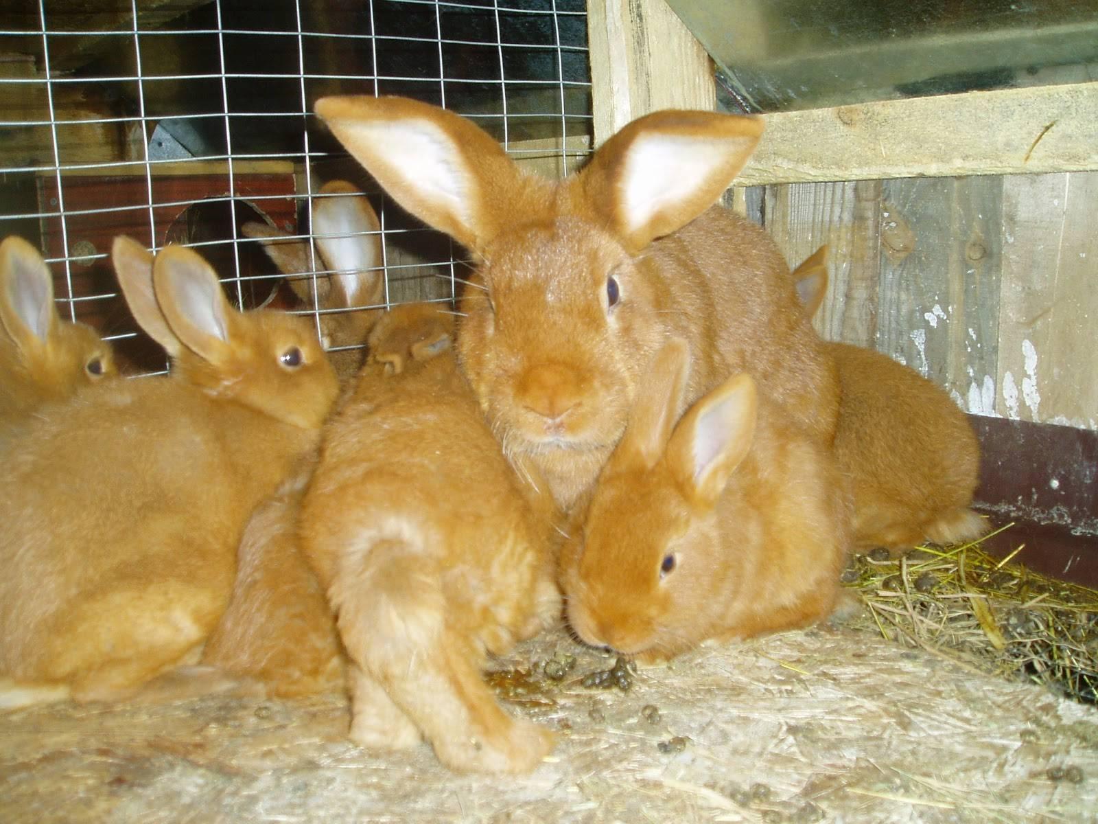 Кролики новозеландской породы: описание, содержание, фото