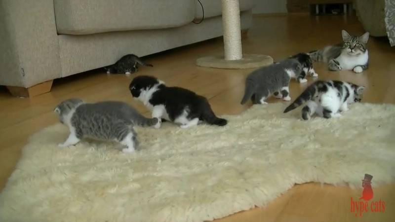 Через сколько дней котята начинают ходить после рождения, а не ползать