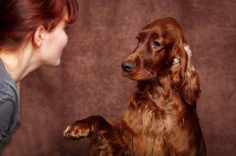 Шотландский сеттер (гордон): описание породы, характеристика охотничьей собаки, фото щенков, цена