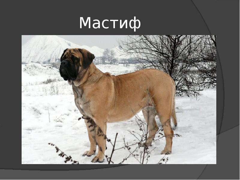Какие бывают мастифы? разновидности и фото собак