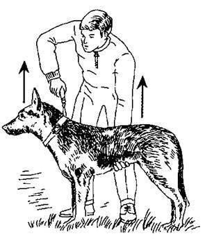 Дрессировка собак (68 фото): как научить щенков командам в домашних условиях? список команд и правила дрессуары для начинающих