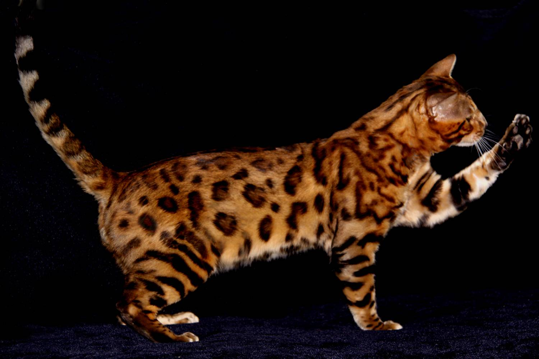 Самые красивые кошки (73 фото): рейтинг самых красивых пород котов в мире. как выбрать котят?