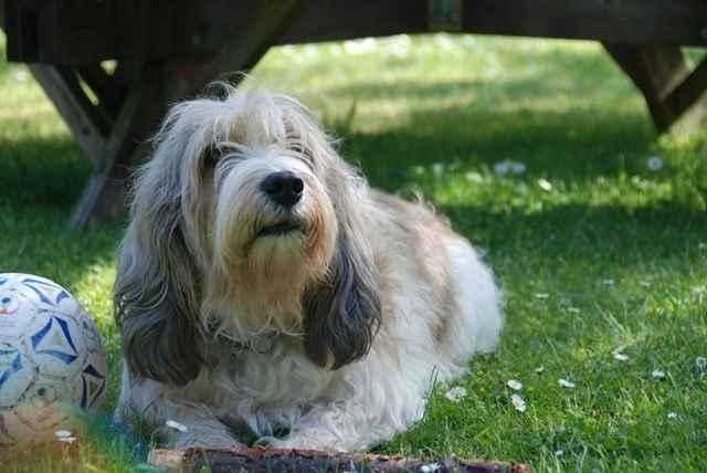 Вандейский бассет-гриффон — википедия. что такое вандейский бассет-гриффон