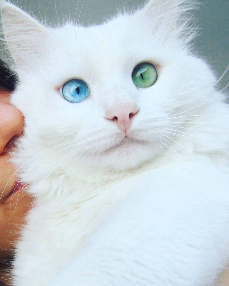 Яванская кошка (яванез): описание внешности и характера, уход за питомцем и его содержание, выбор котёнка, отзывы владельцев, фото кота