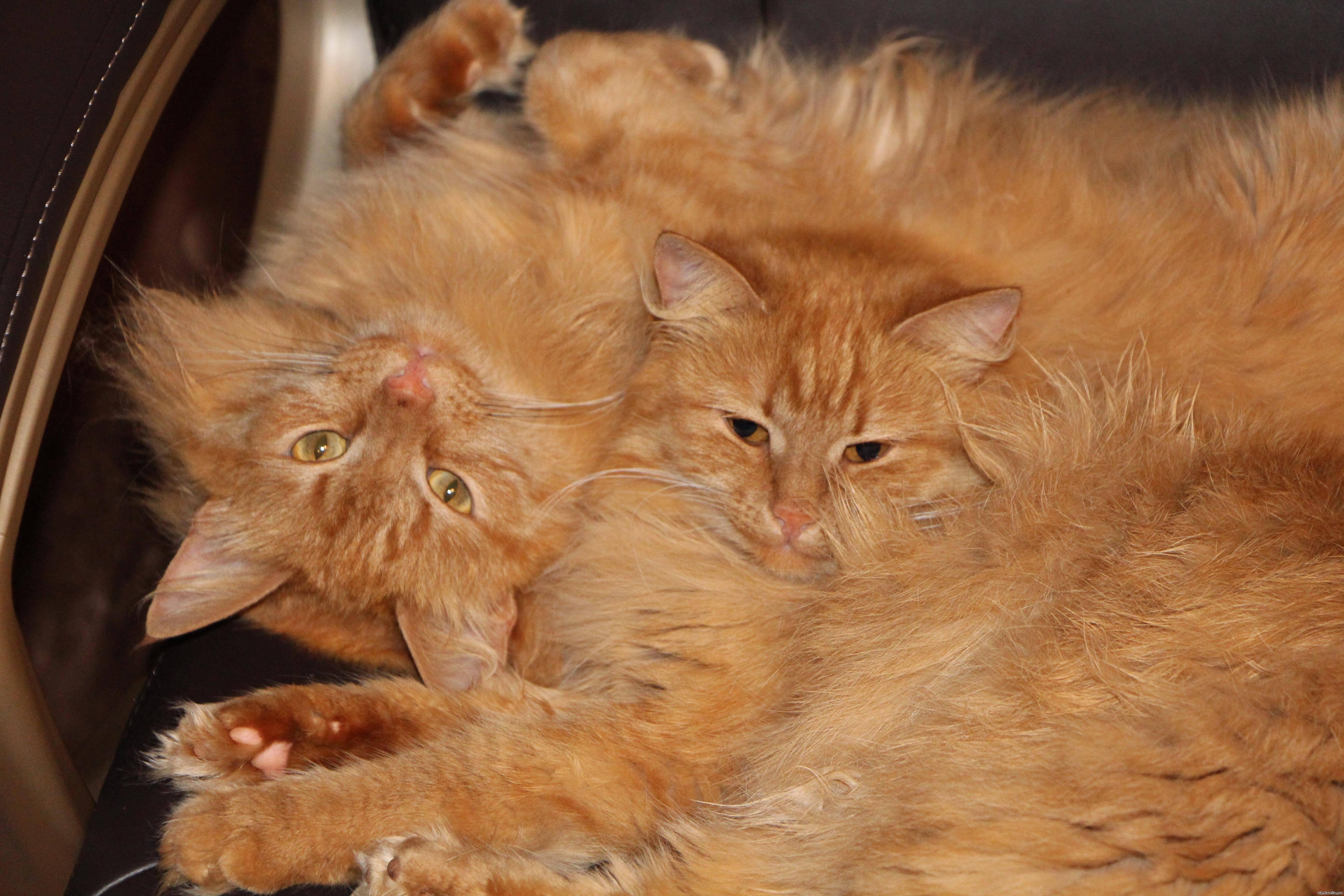 Рыжие коты: фото, внешний вид, особенности, поведение