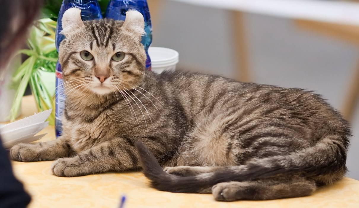 Американский керл - здесь есть все о породе кошки. фото, описание породы, уход, окрас, история, характер