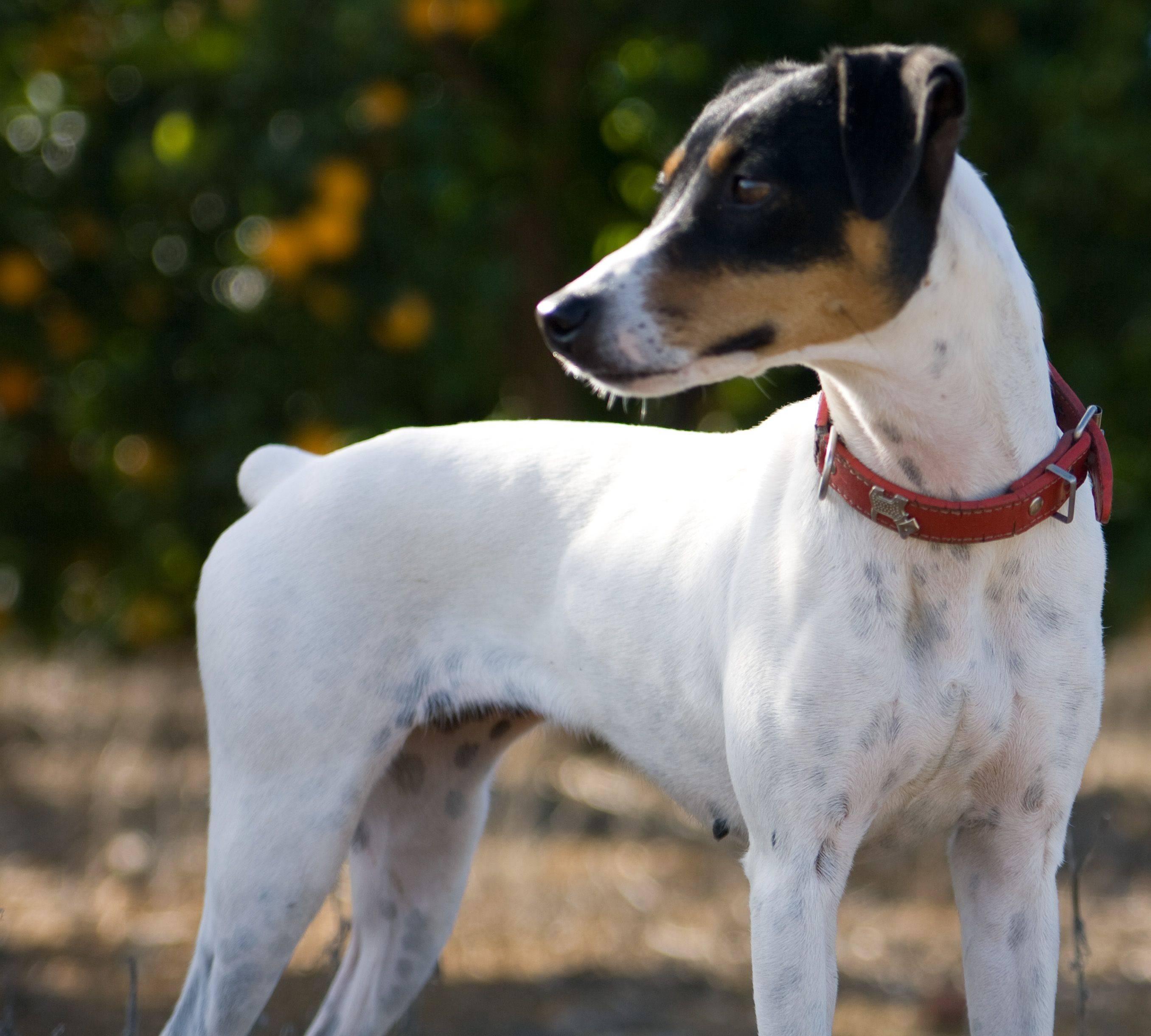 Ротвейлер - 82 фото своенравной и выносливой служебной собаки
