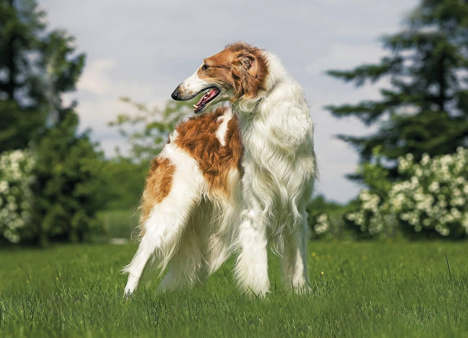 Русская борзая. о породе собак: описание породы русская борзая, цены, фото, уход