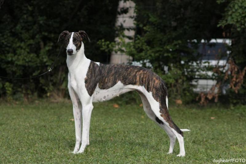 Португальский поденгу (кроличья собака): описание породы с фото и видео