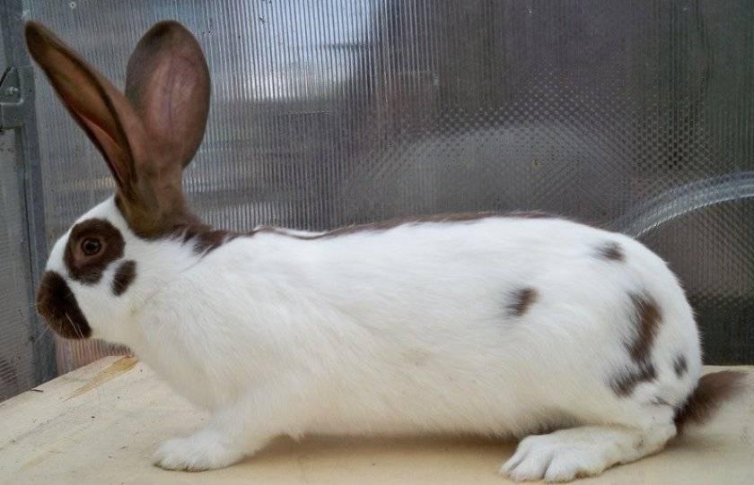 Кролики строкачи: немецкие «бабочки»