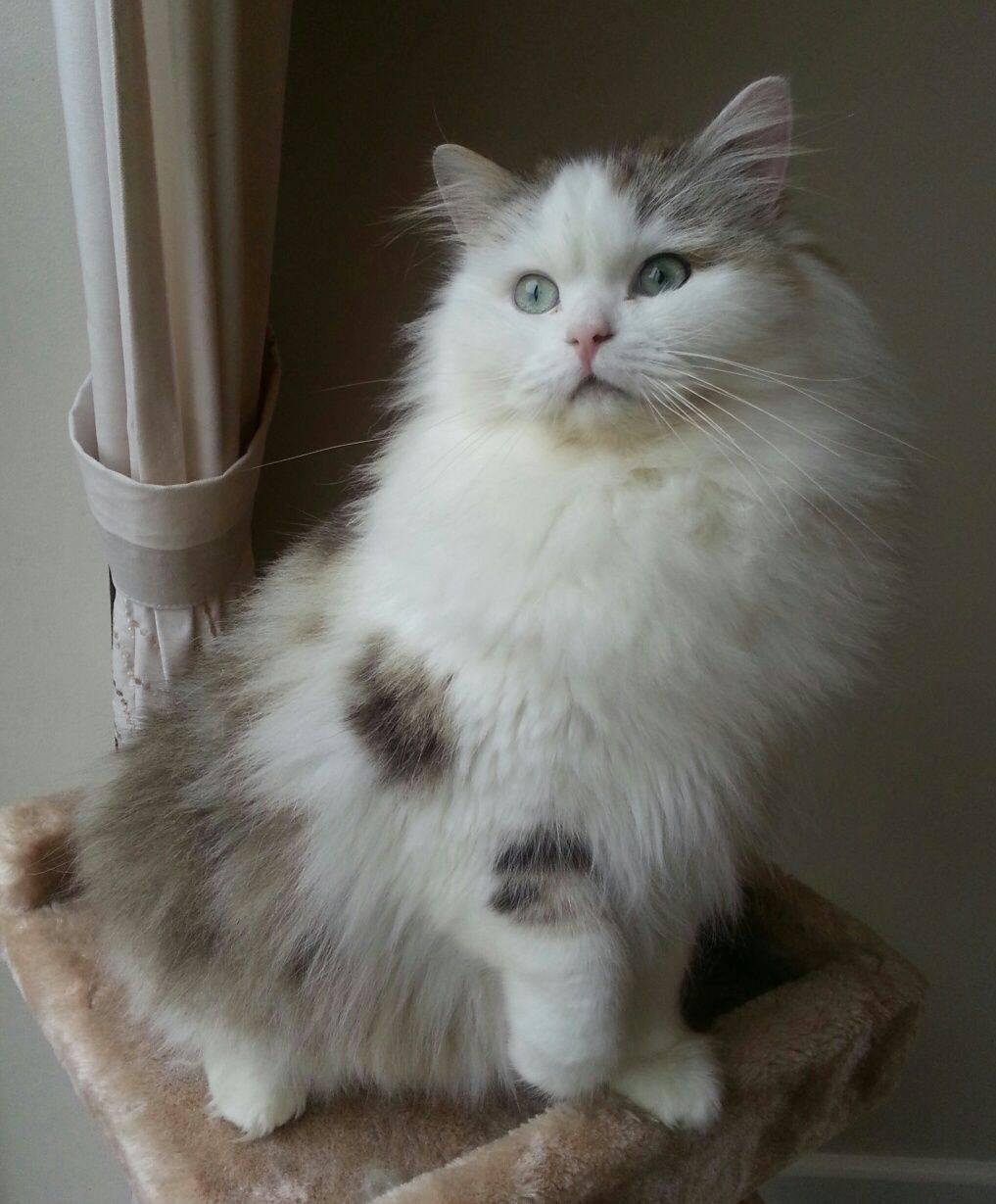 Рагамаффин: подробное описание породы кошек с фото и видео