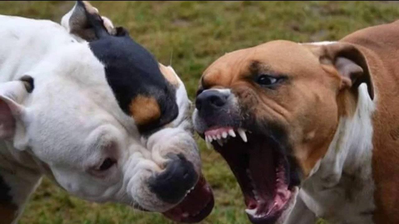 В каких странах запрещен питбуль. породы собак, запрещённые в англии и других странах. американский стаффордширский терьер - новая медицина