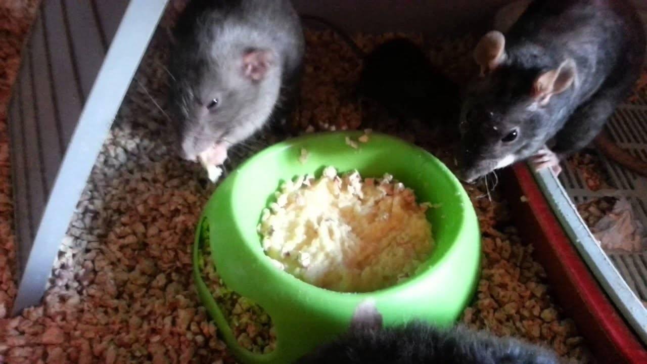 Что едят домашние крысы: рацион питания грызуна