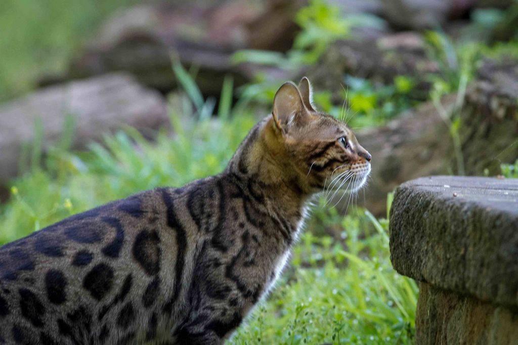 Бенгальская кошка — описание породы, характеристика