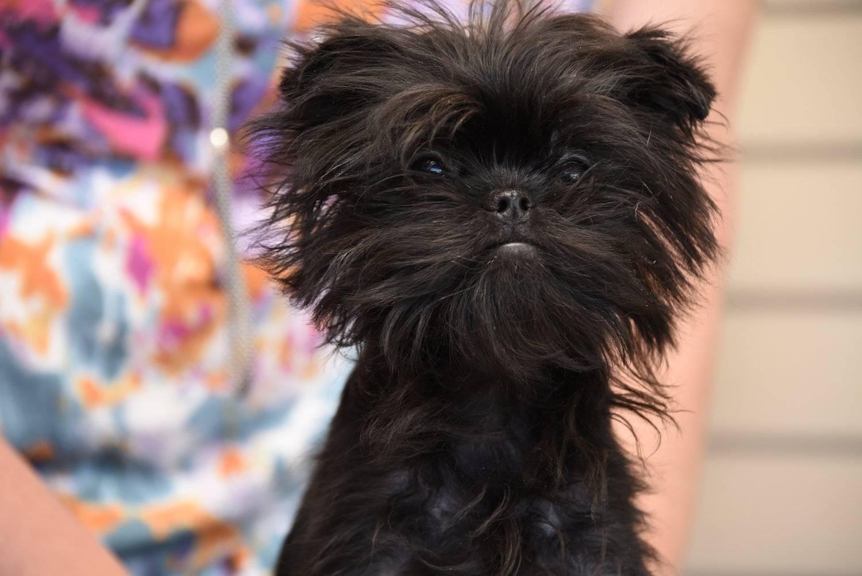 Порода аффенпинчер — собака не для всех. аффенпинчер — особенности и описание породы