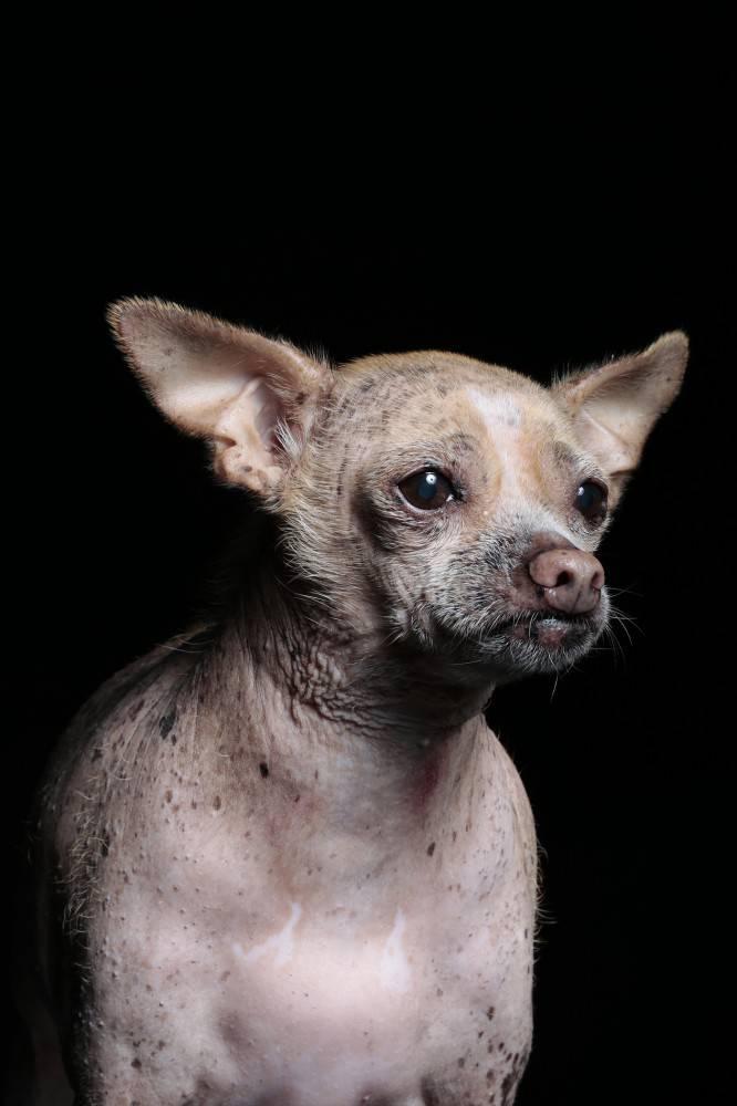 Какая в мире самая уродливая собака