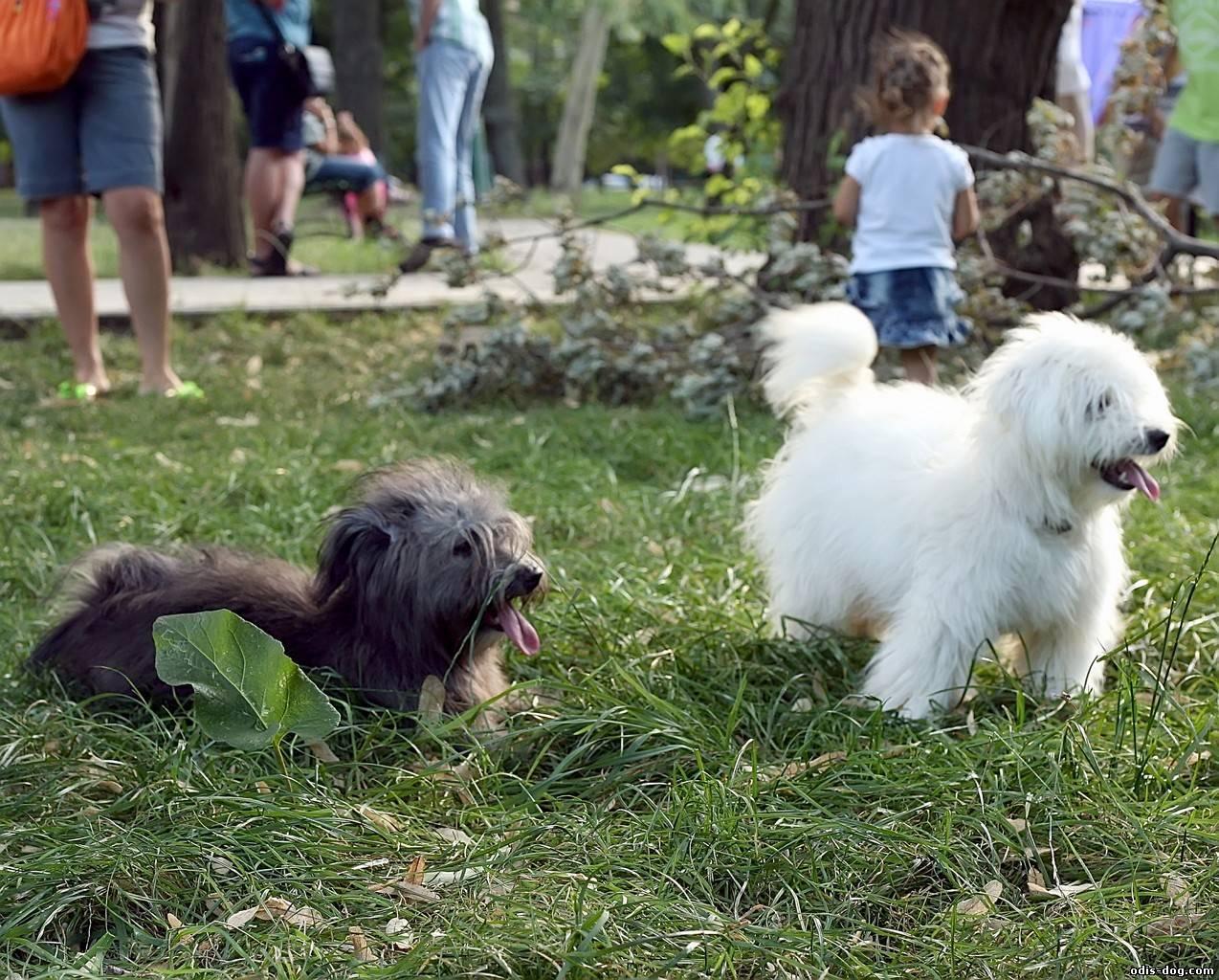 Домашнее разведение породы собак одис