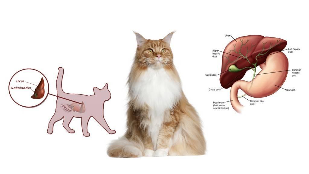 Желтуха у кошек, симптомы и лечение