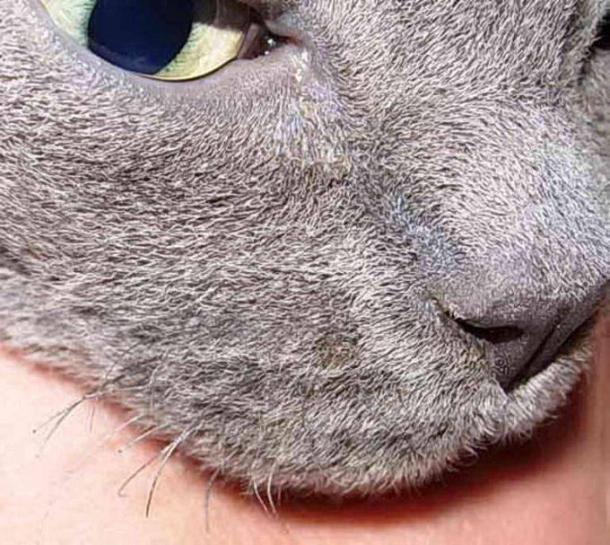 Что будет, если коту обрезать усы, подстричь по неосторожности, вырастут ли они?