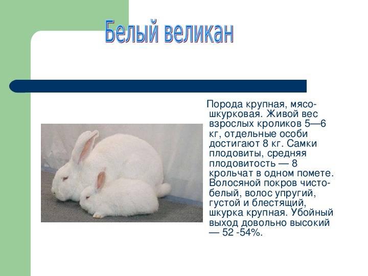 Кролики породы серый великан: описание и особенности выращивания в домашних условиях