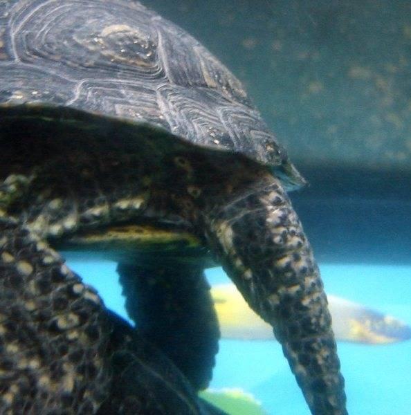 Сколько живет черепаха: как определить её возраст