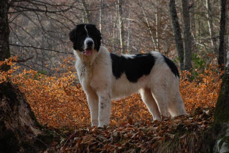 Шарпланинская овчарка (югославская овчарка): описание породы собак с фото
