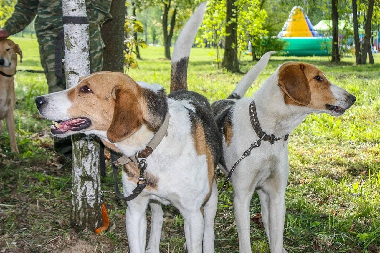 Русская гончая собака: описание и правила содержания