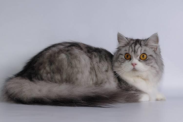 Хайленд-страйт (шотландская прямоухая длинношерстная кошка)