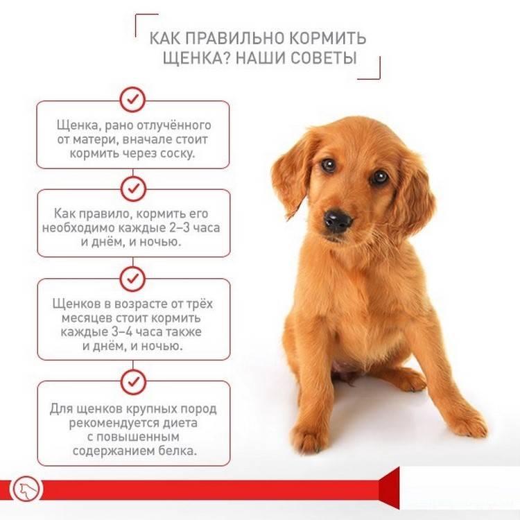 Правила, которые помогут выбрать хорошего щенка породы йоркширский терьер