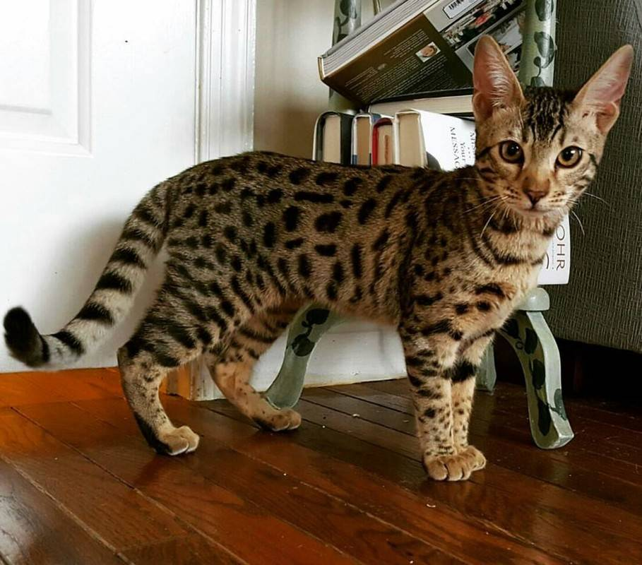 Самые ласковые породы кошек и котов
