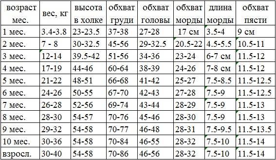Стандарт породы чихуахуа: размеры и вес по месяцам