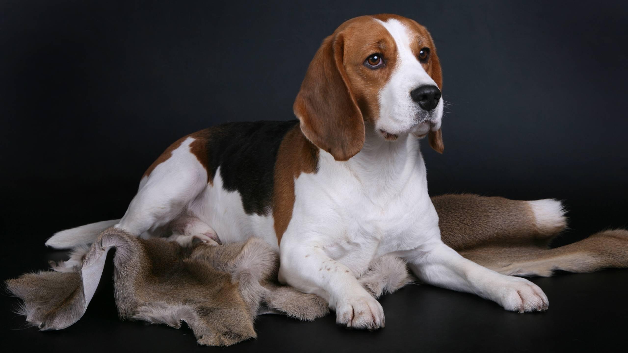 Топ-10 собак для квартиры: лучшие породы, которые стоит завести