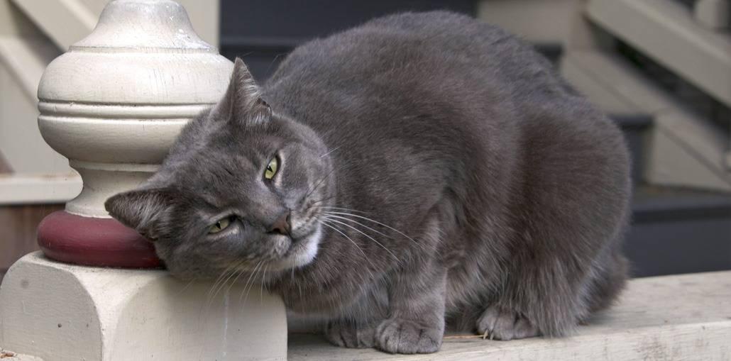 Священная кошка бирма — тайны пушистого совершенства