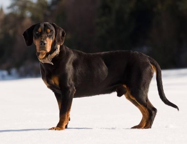 Описание словацкого чувача с фото и характер собак, стандарт породы, особенности ухода и воспитания