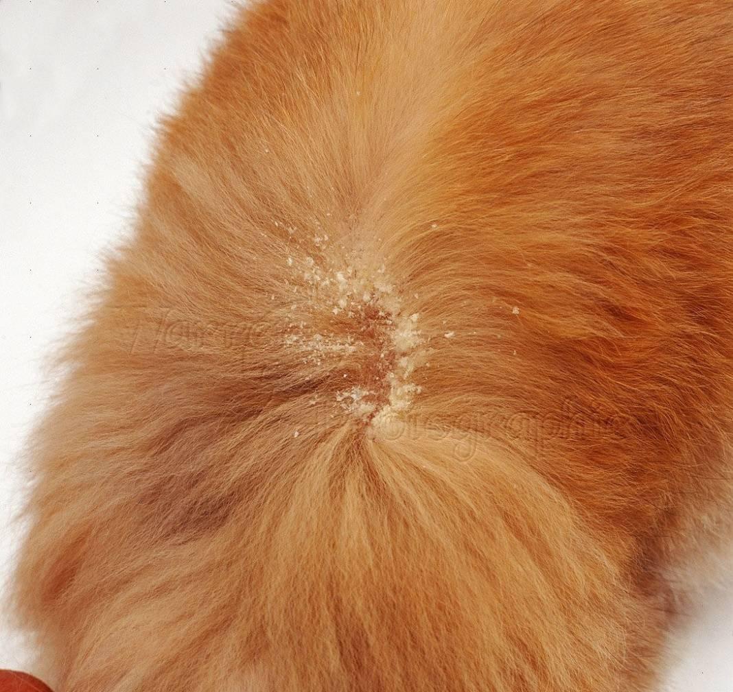 Гиперестезия у кошек симптомы, лечение, что делать?