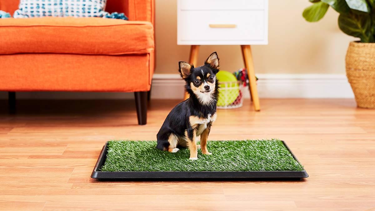 Правильно приучаем щенка породы чихуахуа ходить в туалет на пеленку или лоток